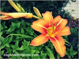 Lilies Flower 5 Reasons To Grow Tiger Lilies Flowers Flower It U0027s
