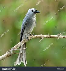ashy drongo dicrurus leucphaeus grey color stock photo 152273708