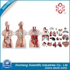 Anatomy And Physiology Human Body Model 204 85cm Anatomy And Physiology Human Body Manikins Buy