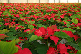 home depot black friday poinsettia the home depot how poinsettias ended up in your home this holiday