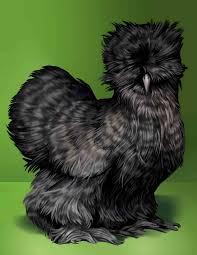 blue silkie chickens mail for more information debbie
