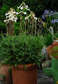 Fragrant Plants For Pots - fragrant gloxinia sinningia tubiflora a multiplying tuberous
