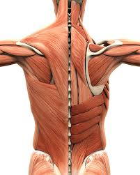 Muscle Anatomy Of Shoulder Human Muscle Pictures Images And Stock Photos Istock