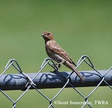 Tennessee birds images Tennessee watchable wildlife house finch habitat grassland jpg