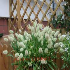 100pcs white bunny tails grass lagurus ovatus bonsai flower seeds