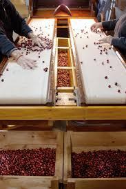 behind the scenes annie u0027s cranberry farm on cape cod gardenista