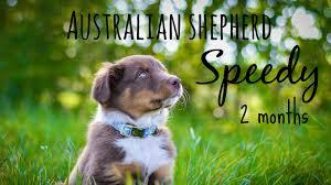 life with australian shepherd australian shepherd speedy welcome to my life youtube