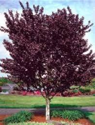 best 25 plum tree ideas on pruning plum trees plum