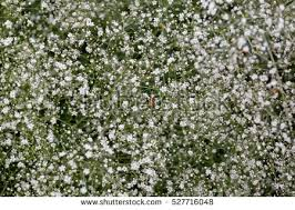 small white flowers small white flowers garden russia photo stock photo 527716048