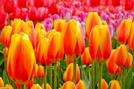 tulips flowers flowers images tulips wallpaper and background photos 30709847