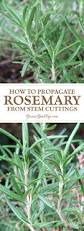 Rosemary Topiary How To Propagate A Rosemary Plant From Stem Cuttings Seeds
