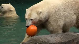 hallzooween enrichment cincinnati zoo youtube