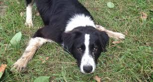 incrocio border collie x australian shepherd border collie un cane di carattere alberto puliafito
