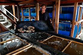 farmed abalone emerges as a local sustainable seafood choice