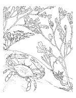 Crabs Coloring Pages And Printable Activities Crab Coloring Page