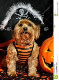 yorkie dog wearing pirate hat for halloween stock photo image