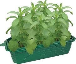 Windowsill Greenhouse Windowsill Greenhouse Eco Bio Dome Terrarium Sprout Grow Stevia
