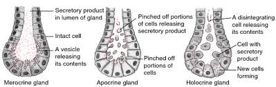 Anatomy And Physiology Definitions Holocrine Gland Anatomy U0026 Physiology Pinterest Online