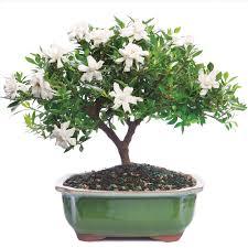 Gardenia Delivery Gardenia Bonsai Tree Flowering Outdoors Wind Free Care