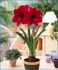 how to grow amaryllis bulbs gardens and plants