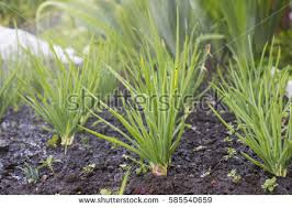 onion plantation vegetable garden agriculture stock photo