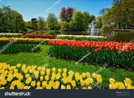 flower gardens blooming tulips flowerbeds keukenhof flower garden stock photo