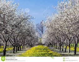 cherry blossom at traverse city michigan stock photo image