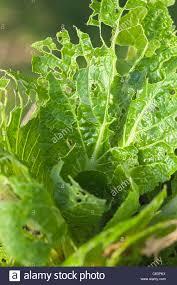 slug insect caterpillar damage chinese leaves salad vegetable