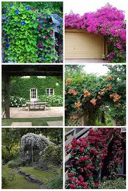 Arbors And Pergolas by 12 Best Climbing Plants For Pergolas And Arbors Mental Scoop