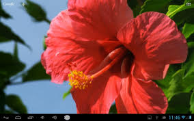 google images flower real red flower live wallpaper android apps on google play