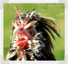 Can You Have Chickens In Your Backyard Back Yard Chickens The Law And You