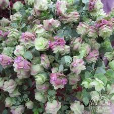 plant profile for origanum kent ornamental oregano