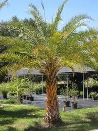 sylvester palm tree price palms