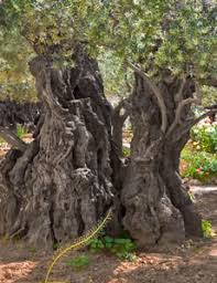 gethsemane meaning for christians jesus prayed at gethsemane