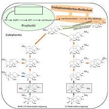 Untersuchung entwicklungsspezifischer Gibberellin Signalwege in