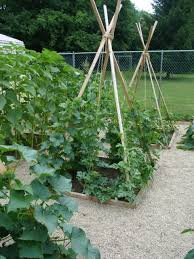 Growing Melons On A Trellis Growing Cantaloupe On A Trellis Growing Cantaloupe Vertically The