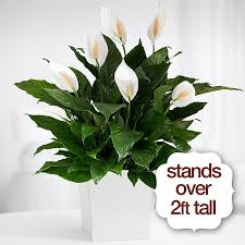 Sympathy Flowers And Gifts - sympathy plants condolence plants