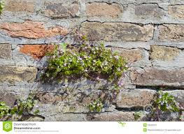 wall with ivy hedera stock photo image 53229210