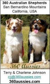 australian shepherd height 360 aussies australian shepherd breeder