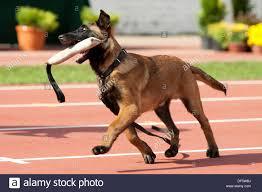 belgian shepherd dog malinois belgian shepherd dog malinois stock photo royalty free image