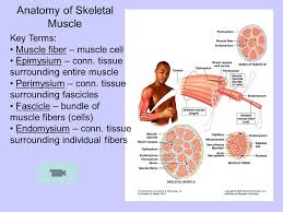 Anatomy And Physiology The Muscular System The Muscular System Ppt Video Online Download
