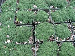 miniature ground covers the redwood empire garden railway society