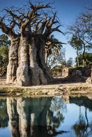 an tree picture of disney s animal kingdom orlando