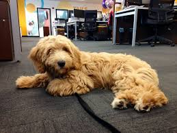 goldendoodle puppy treats 272 best our pet helpers images on the team bandanas