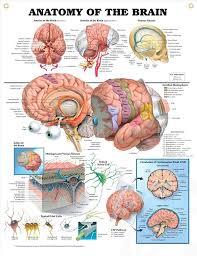 Anatomy Of A Cats Eye Best 10 Brain Anatomy Ideas On Pinterest Brain Anatomy And