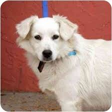 american eskimo dog london princess adopted dog denver co australian shepherd american