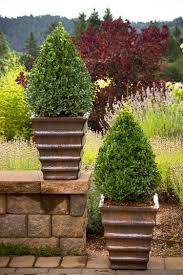 green mountain boxwood monrovia green mountain boxwood