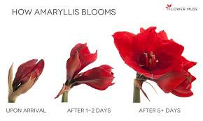 Amaryllis Flowers How Fresh Cut Amaryllis Arrives And Blooms Flower Muse Blog