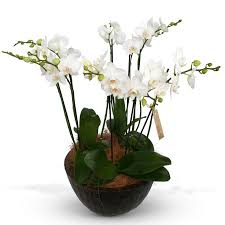 Orchid Plants Orchid Plant Delivery Brisbane Divine Flowers Wilston Luxury Gifts
