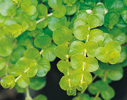 hanging basket plants for sun your guide to creeping jenny sunset